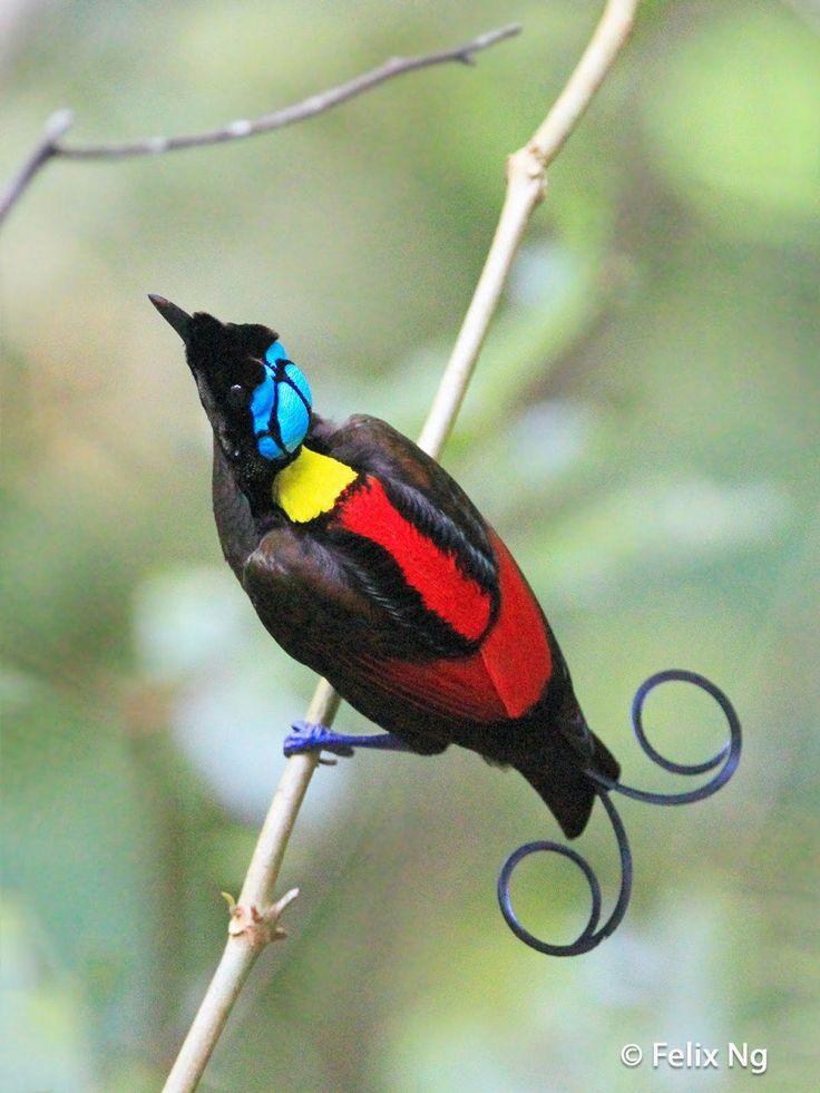 L'oiseau de Wilson du paradis  Un autre oiseau du paradis que l'on reconnaît facilement par les couleurs atypiques qu'il arbore sur son dos. La couronne turquoise qui se situe sur sa tête est en réalité un morceau de peau nue et non des plumes.