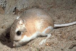 Kangaroo Rat! I'll catch one this summer, with the help of my lovely girlfriend!