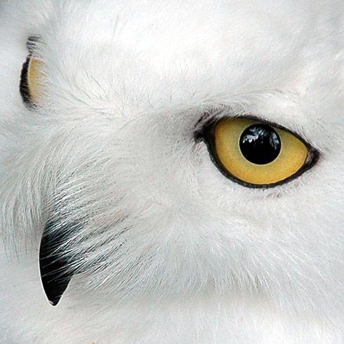 eyes : Owl Eyes, Animal Eye, Animals Owls, White Owls, Ok Owls, Snowy Owl, Eyes Owl, Owls Birds Special, Eudoxe White Owl