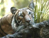 Thailand- Dont Destroy Tiger Habitat please check out this petition and sign http://www.thepetitionsite.com/969/141/880/thailand-dont-destroy-tiger-habitat/