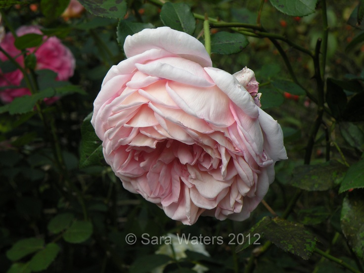 Rose,  Sofiero, Southern Sweden