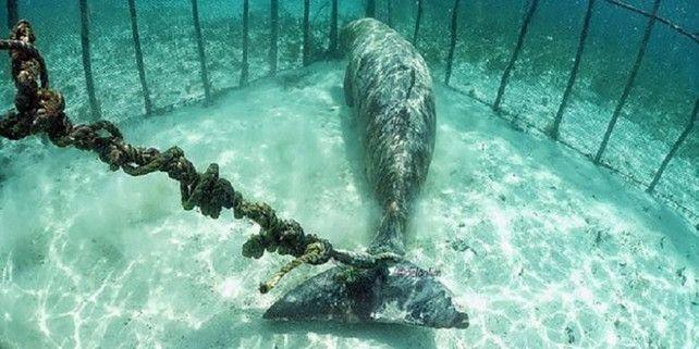 Een groep duikers heeft een zorgwekkende ontdekking gedaan in de buurt van het eiland Kokoya, in Indonesië. De waterratten troffen er twee Indische zeekoeien…
