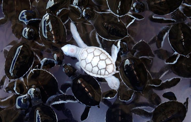 Turtle Albinism is an umbrella term that covers a variety of genetic pigmentation disorders. Most creatures born with albinism are born with white or pink skin and fur, and some (not all) have reddish or violet eyes as well. Albinism is associated with poor eyesight and a higher susceptibility to skin cancers, but animals and people with albinism are otherwise no different from their peers. Leucism is a similar condition that can affect a wider array of pigments than albinism does.