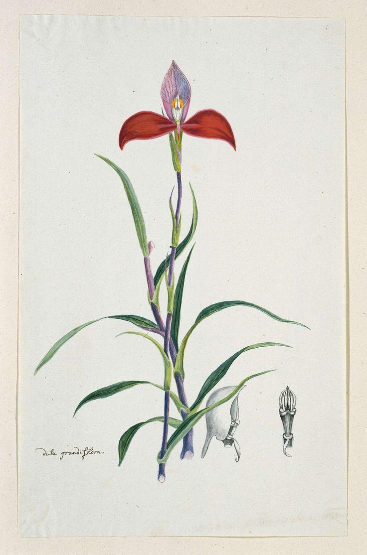 Robert Jacob Gordon | Disa uniflora Bergius; met een detailstudie van de knop, Robert Jacob Gordon, 1777 - 1786 | Disa grandiflora (Gordon), of rode orchidee van de Tafelberg.