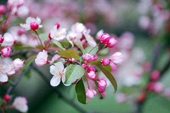 Crabapple blossoms / Pommetiers pourpres