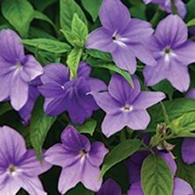 The #Browallia has a short, bushy habit with blue or white star-shaped flowers. For more alternatives, visit us at: http://www.sheridannurseries.com/products_and_services/product_selection/shade_impatiens_alternatives