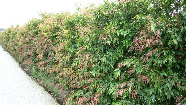 Waterhousia floribunda.  This tree makes a beautiful hedging screen when trimmed.