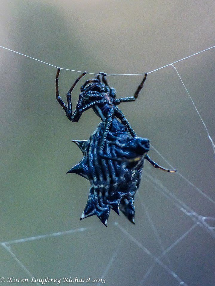 """Micrathena gracilis is a spider in the family Araneidae (orb-weavers), commonly known as the Spined Micrathena or the """"CD Spider"""" because its webs can make it appear that there are CDs hanging from the trees. It is completely harmless to humans."""