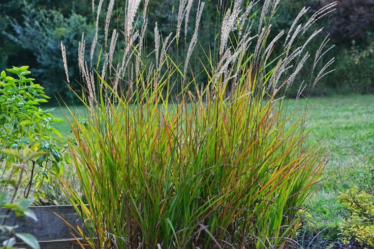 Miscanthus purpurascens flame grass plants for plant for Landscaping with zebra grass