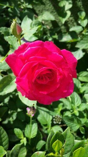 Rose#rehaish#panchgani