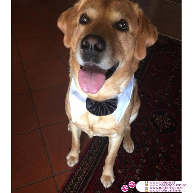 Querbinder für große Hunde #Hunde #Labrador - Für eine Hochzeit oder ein wichtiges Ereignis, hier ist ein Zubehör für große Hund: die Querbinder für Hunde; Spaß und Eleganz für große Hund
