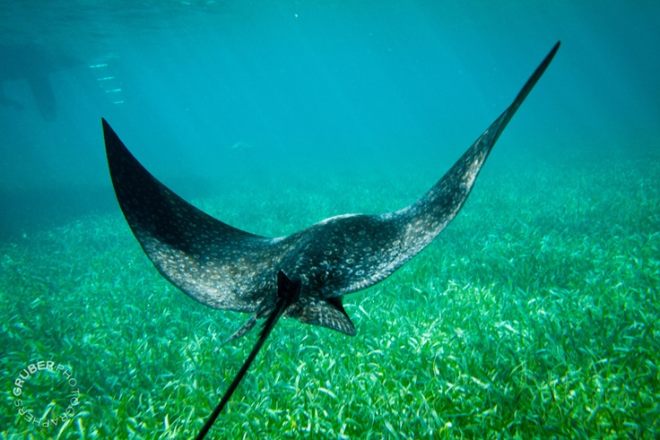 Great photo!  It looks like he's flying!    Shark Ray Alley, Ambergris Caye, Belize