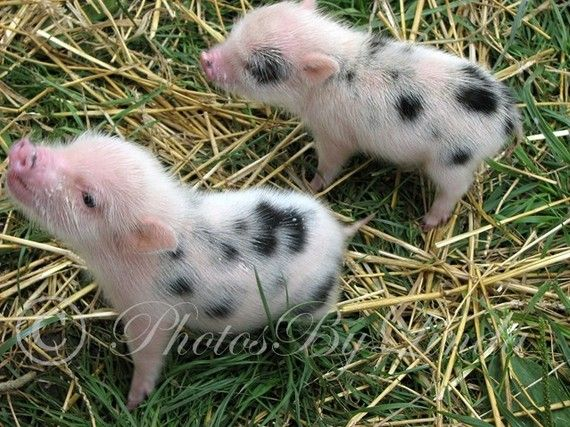 Yes. Teacup Piglets. I want one. I hear they're smarter than dogs, super clean, and all the rage in Europe. I must have one. They're just so cute!