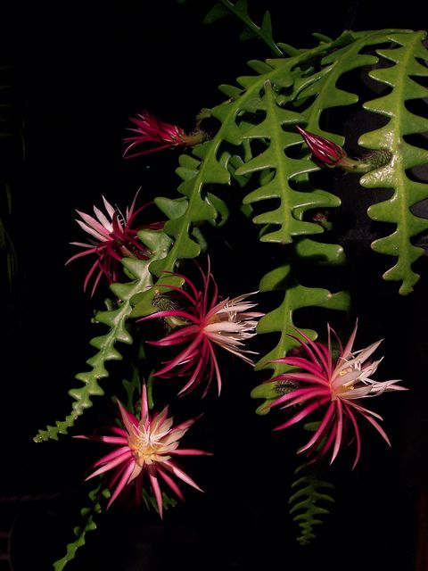 The rick rack cactus is  from the rainforests of southern Mexico. Its stunning flowers open at dusk, to be visited by moths and bats.: Racks Cactus, Cactus Succulents, Cactus Selenicereus, Rare Epiphyte, Flowers Open, Selenicereus Anthonyanus, Rick Racks, Southern Mexico, Jungles Cactus