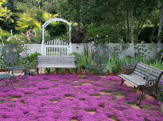 replace your grass with creeping thyme
