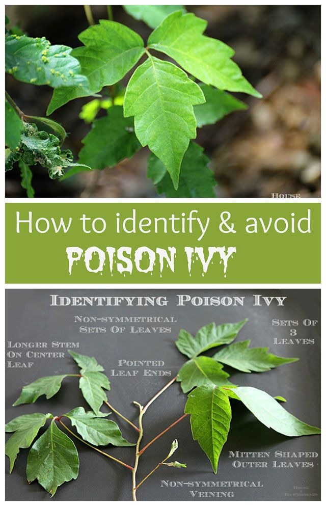 How to identify and avoid poison ivy and ways to help prevent getting a rash from it!