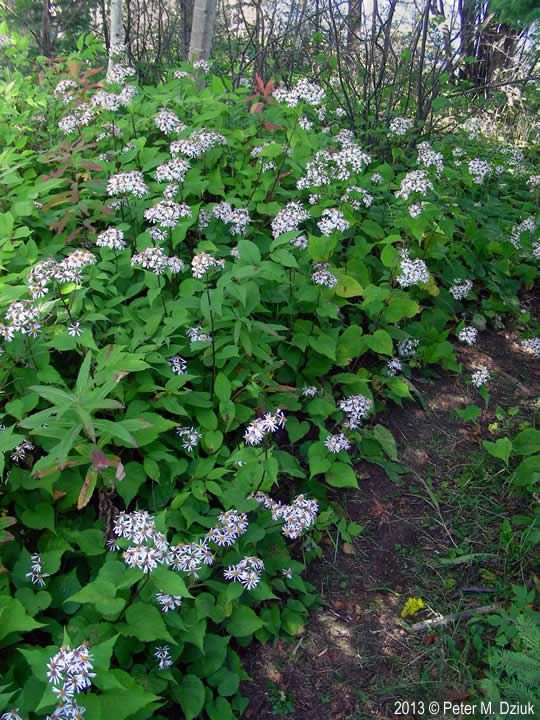 Big Leaf Aster (Eurybia macrophylla) - zones 3-8, lasts from spring to fall.  Groundcover for shade.