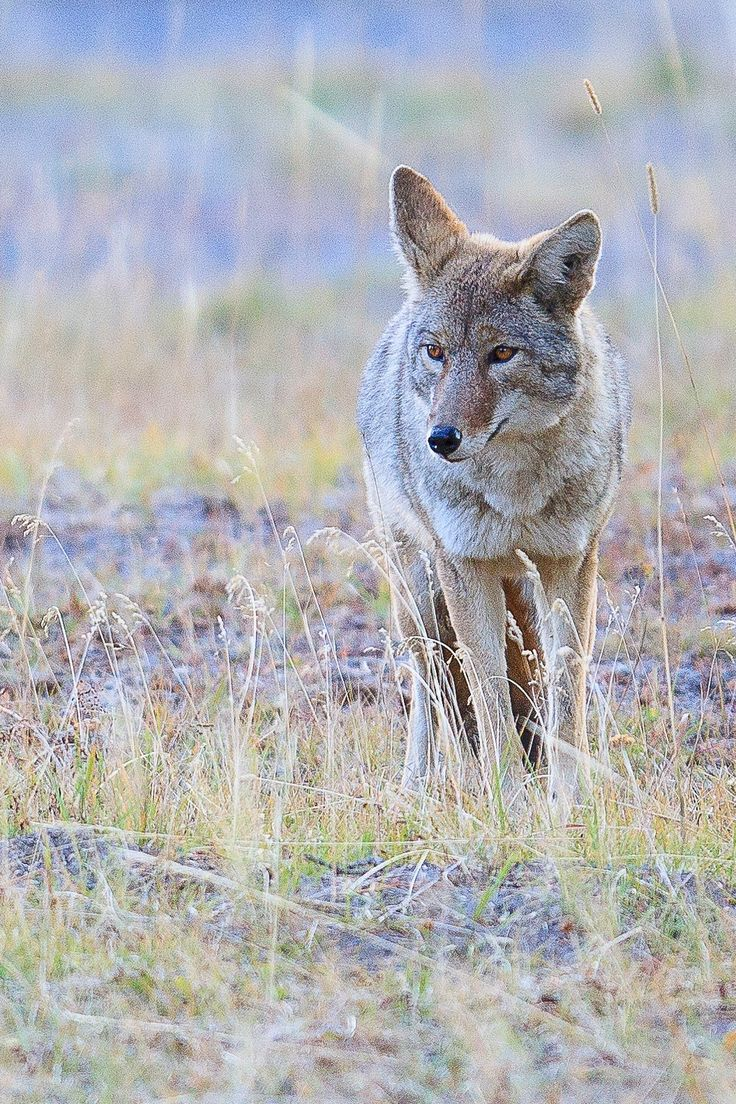 Yellowstone Coyote - null