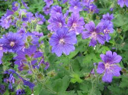Geranium 'Rozanne' would fare alright in the window border