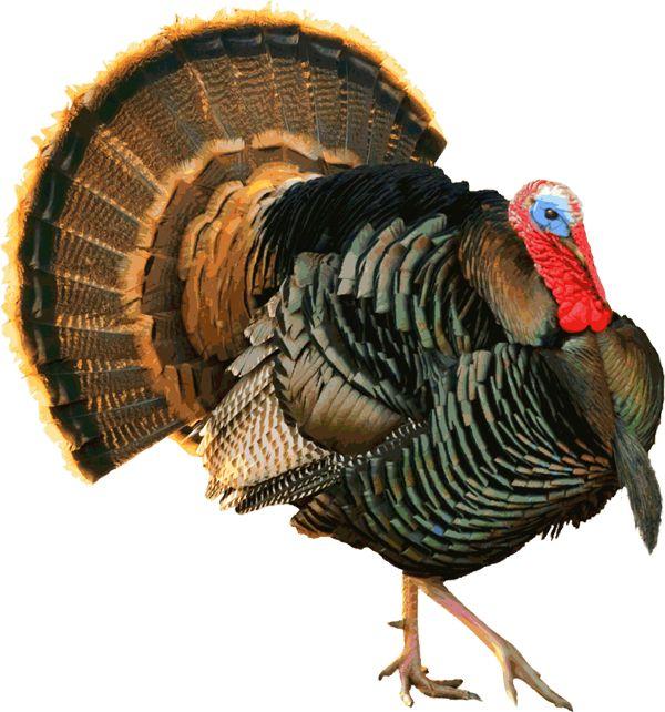 Turkey Clip Art | Another Proud Tom Turkey