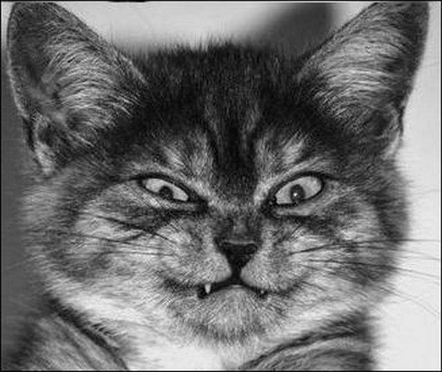 Best Angry Cats Images On Pinterest Angry Cat Cats - 35 cats pulling ridiculous faces imaginable