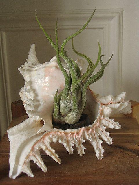 Tillandsia plant in a seashell