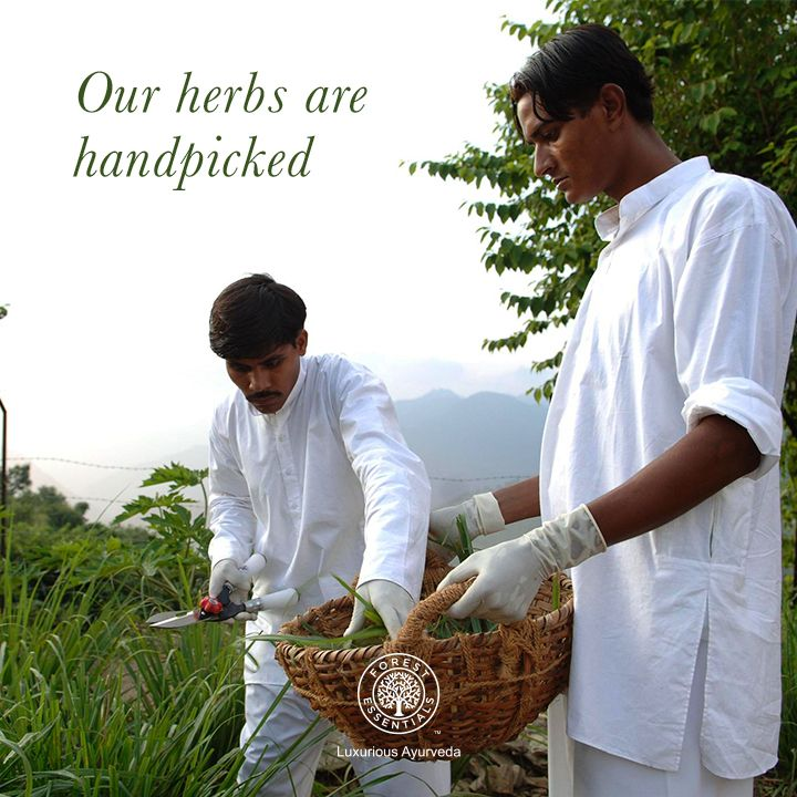 At Forest Essentials, we give paramount importance to the plucking of the herbs early in the morning when they're fresh.