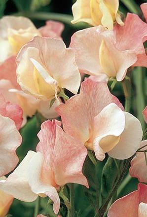 Queen Mother Sweet Pea Seeds | Pinks on Cream Sweet Pea Seeds