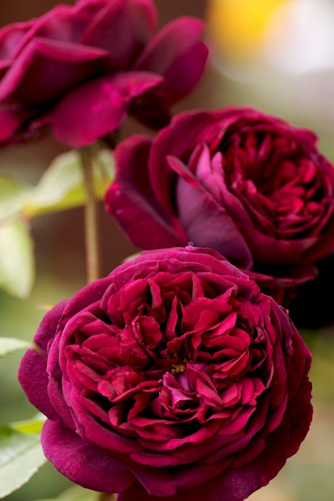 'The Prince' David Austin Rose   Flowers at first the deepest, richest crimson imaginable, but quickly turning to an equally rich royal purple not to be confused with the sometimes jarring purples of many modern roses.