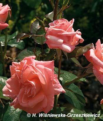 Róża wielkokwiatowa 'Sandra' Rosa 'Sandra'  Silnie rosnący krzew, osiągający około 1 -1,2 m wysokości. Pędy proste i długie. Liście ciemn...