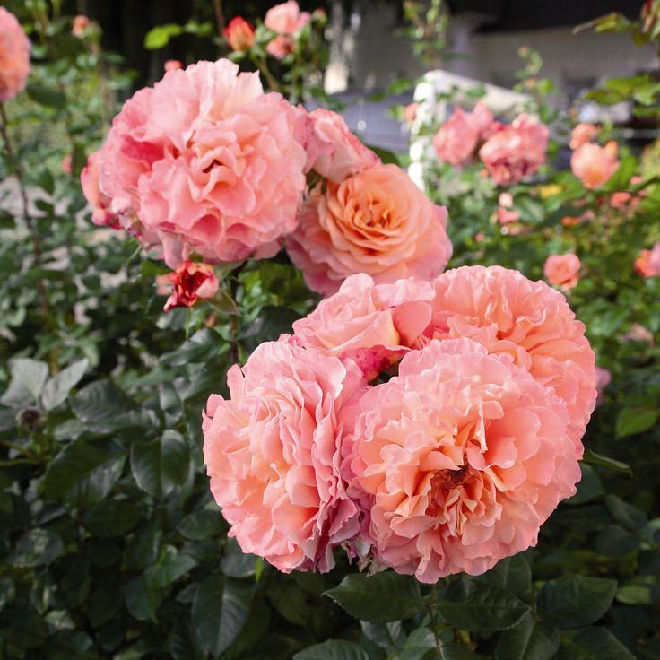 Augusta Luise®   Nostalgic roses®   Online-Shop   Rosen Tantau