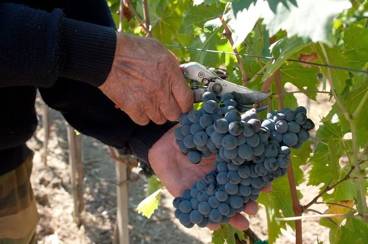 Il Podere di Pomaio Green Winery ha vinto il premio Terre Fiorenti come azienda agricola più innovativa della regione Toscana nel 2014.  Scopri il Podere di Pomaio su Excantia: http://www.excantia.com/produttori/podere-di-pomaio
