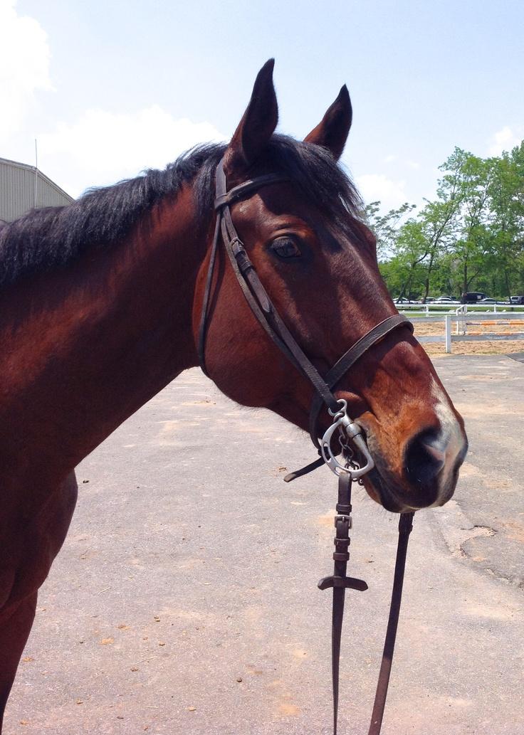 Beautiful Bay Hunter #horse #horses