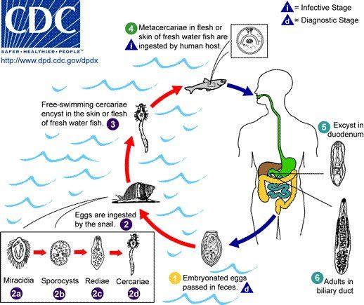 In Southeast Asia, an all-too-common parasite is known to increase the incidence of bile duct cancer in infected individuals. A paper just released in PLoS Pathogens shows how this happens. Knowing the molecular pathway that leads from parasite infection to cancer will almost certainly speed up the...