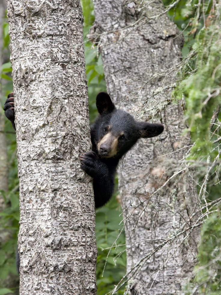 The Great Smoky Mountains are home to abundant wildlife including black bears, elk, white-tailed deer and 200 species of birds.