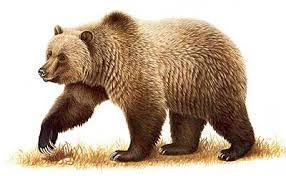 Easy Science for Kids All About Brown Bears - The Grizzlies. Learn more about Brown Bears with our Fun Science Facts for Kids Website on Brown Bears.