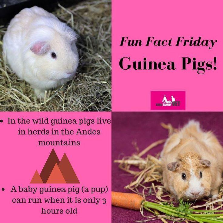 Its Fun Fact Friday!       #yourfamilyvet #yfv #pinkladies #veterinarian #vetnurse #vetlyf #vetlife #vetclinic #pets #petcare #pethealth #pethealthcare #wimmera #horsham #funfact #funfacts #funfactfriday #guineapigs #guineapigsofinstagram #cute