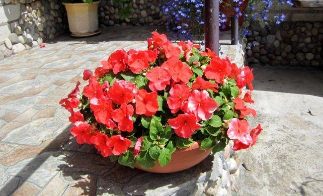 комнатные цветы в открытом грунте, комнатные растения в открытом грунте, как высаживать комнатные растения в открытый грунт, бальзамин в открытом грунте