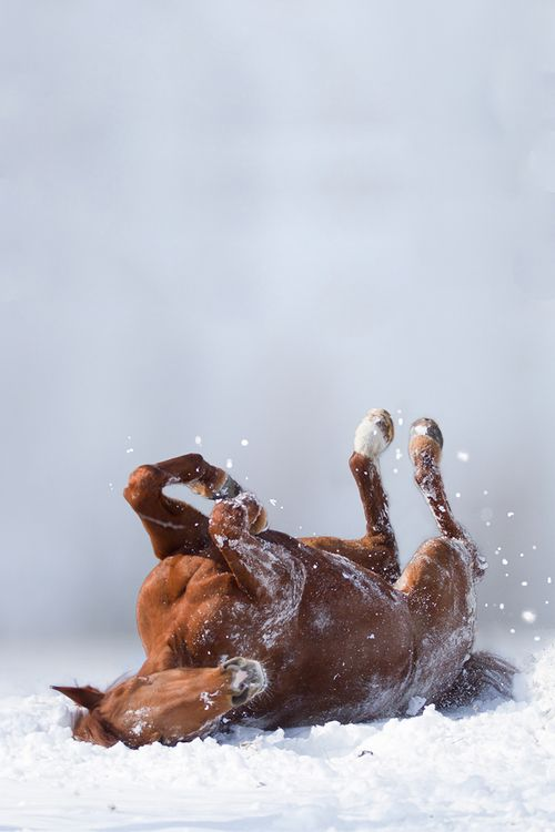 Ah, it's just beautiful simply beautiful., brown horse rolling in snow on back, a snow roller snowrollers,
