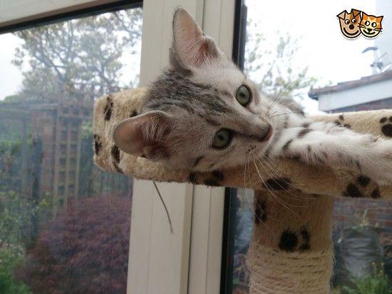 Pedigree Silver Egyptian Mau Kitten for sale   Oldbury, West Midlands   Pets4Homes