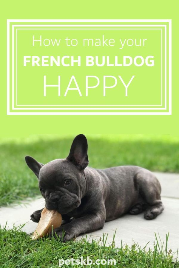 Pin On All About French Bulldogs