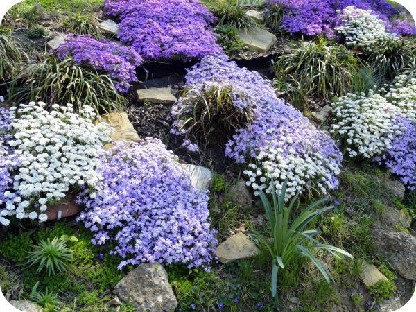 Beautiful Purple Amp White Phlox Gardens Pinterest