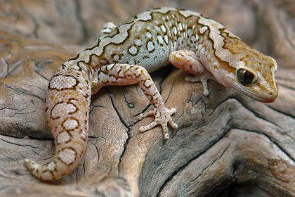 Diplodactylus granariensis granariensis - Stefan Brech #gecko