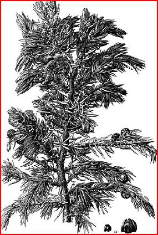 Know your common North American junipers.: Where Juniper Trees Live in North America