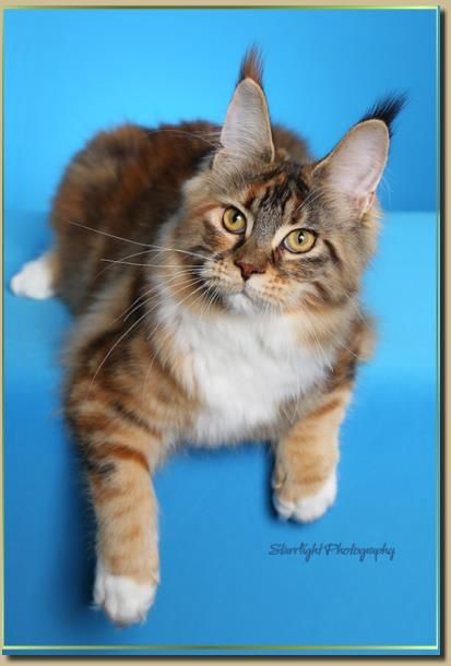 Maine Coon Cats Cascade Mountain Cattery - San Diego, Southern California