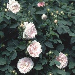 Maidens Blush', en rose fra Lundeby Gartneri