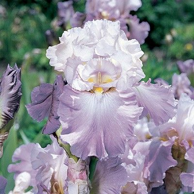Bearded Iris Mother Earth | Iris germanica | Colorful Blooms and Attractive Foliage on Easy to Grow Plants