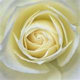Flores - Rosa blanca flor en el ojal -