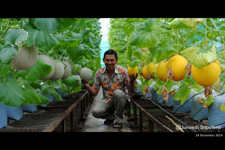 Melon (Cucumis melo) in Green House at Taman Buah Mekarsari