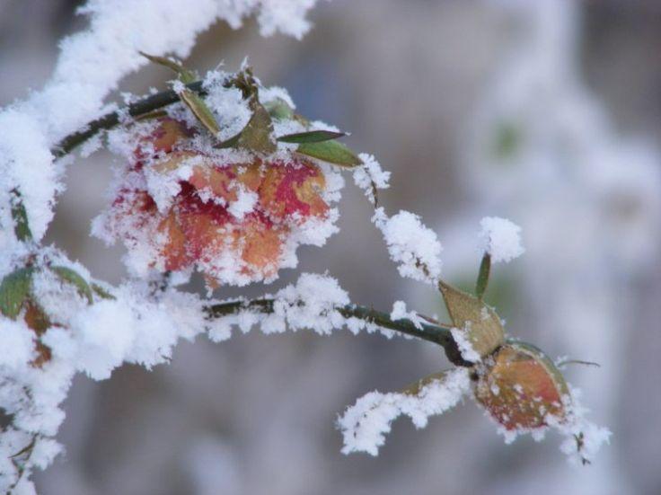 Winterliche Malreise auf Rügen | Rosen als Eisblumen (c) FRank Koebsch (4) #wirsindinsel! #rügen